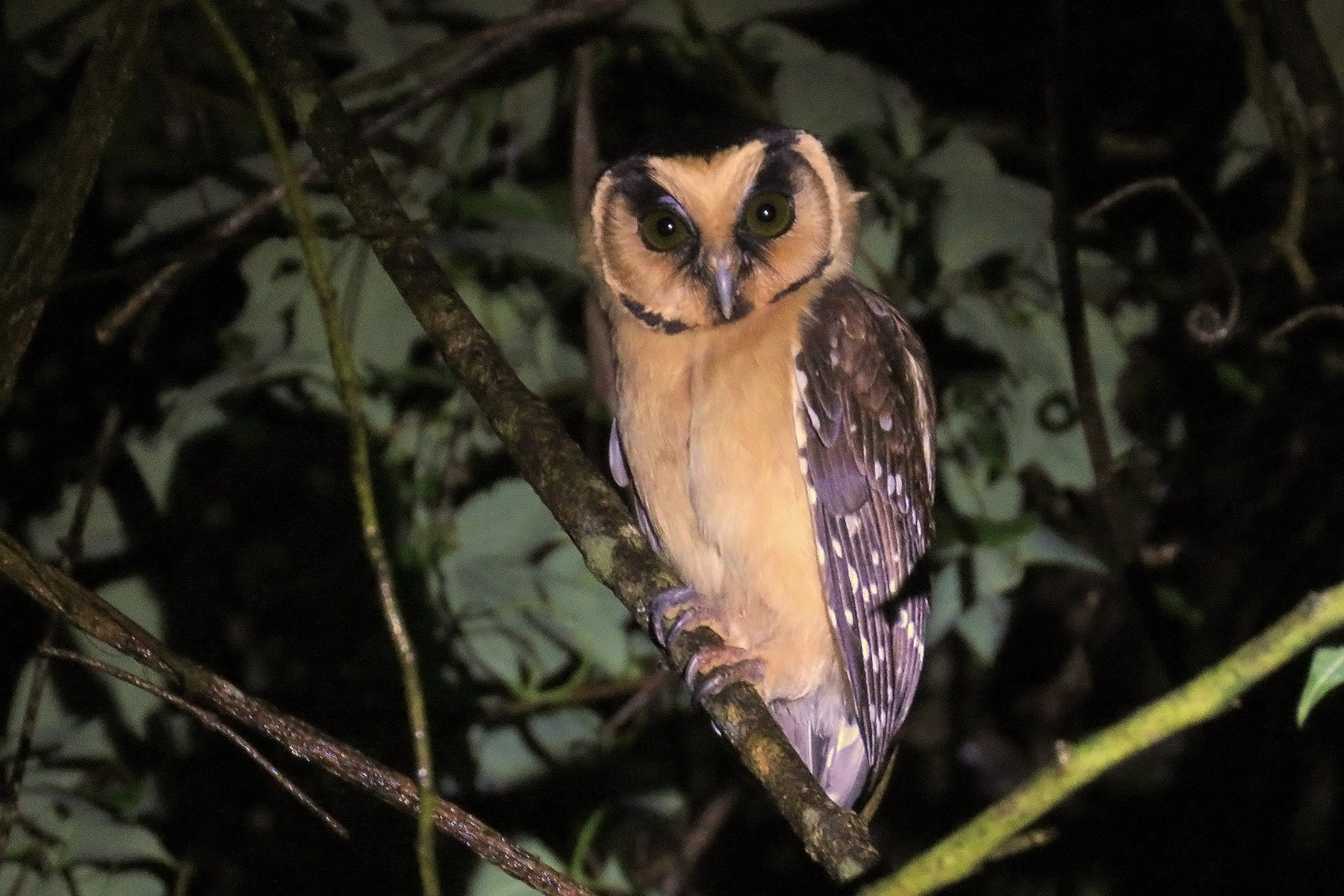 Buff-fronted Owl in Brazil (image by Eduardo Patrial)