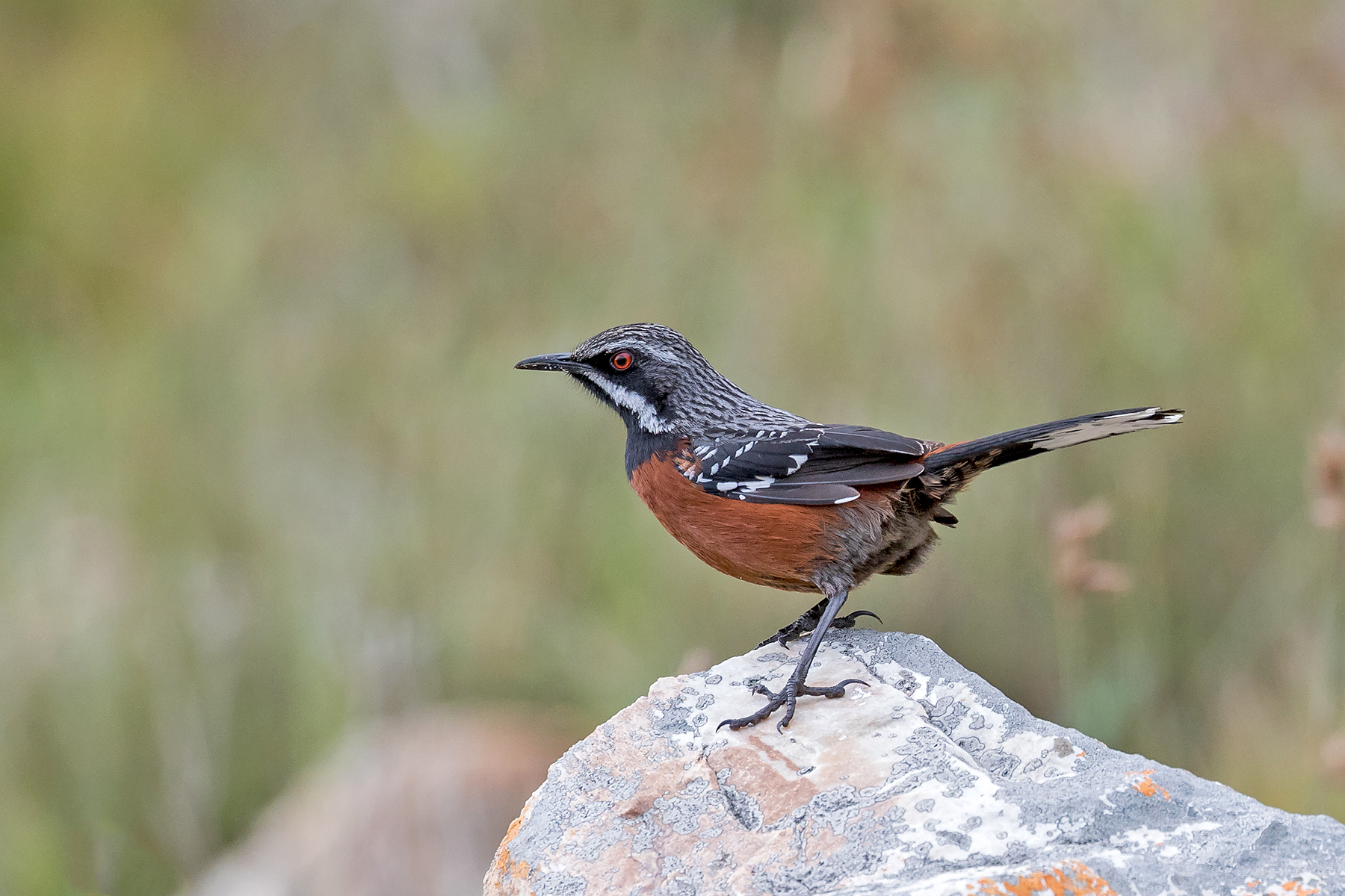 Cape Rockjumper on our South Africa birding tour in South Africa (image by Pete Morris)
