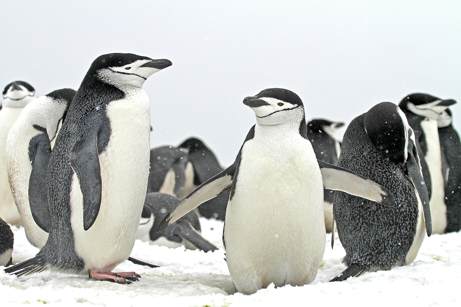 Chinstrap Penguins on our Antarctica birding tour (image by Pete Morris)