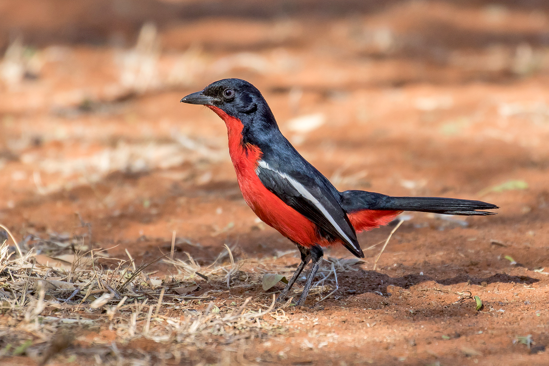 Crimson-breasted Shrike in Namibia (image by Pete Morris)
