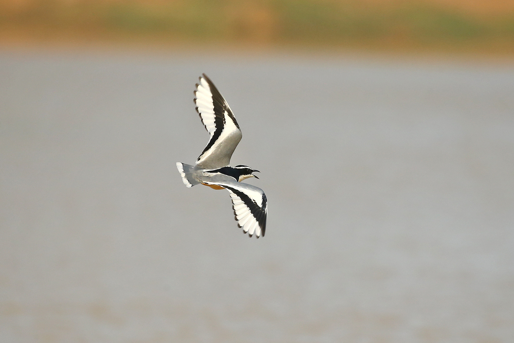 Egyptian Plover in Ghana (image by Janos Olah)