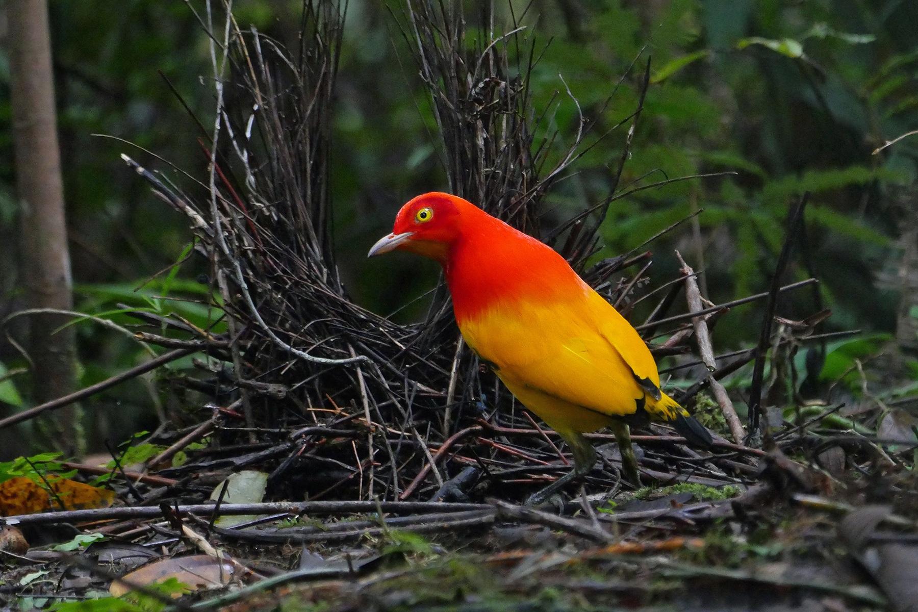 Papua New Guinea Birding Tours - Birdwatching Tours - Birdquest