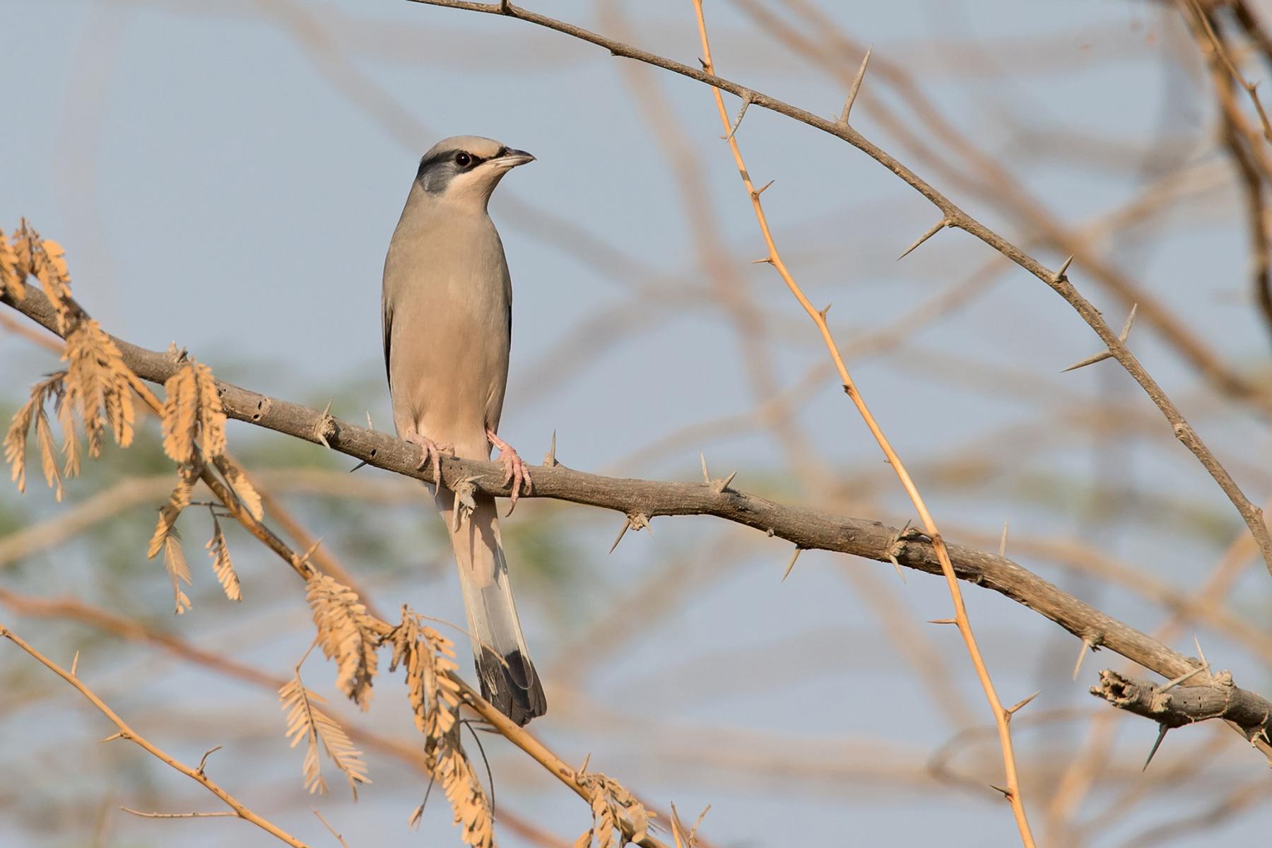 Grey Hypocolius on our Bahrain birding tour (image by Mike Watson)