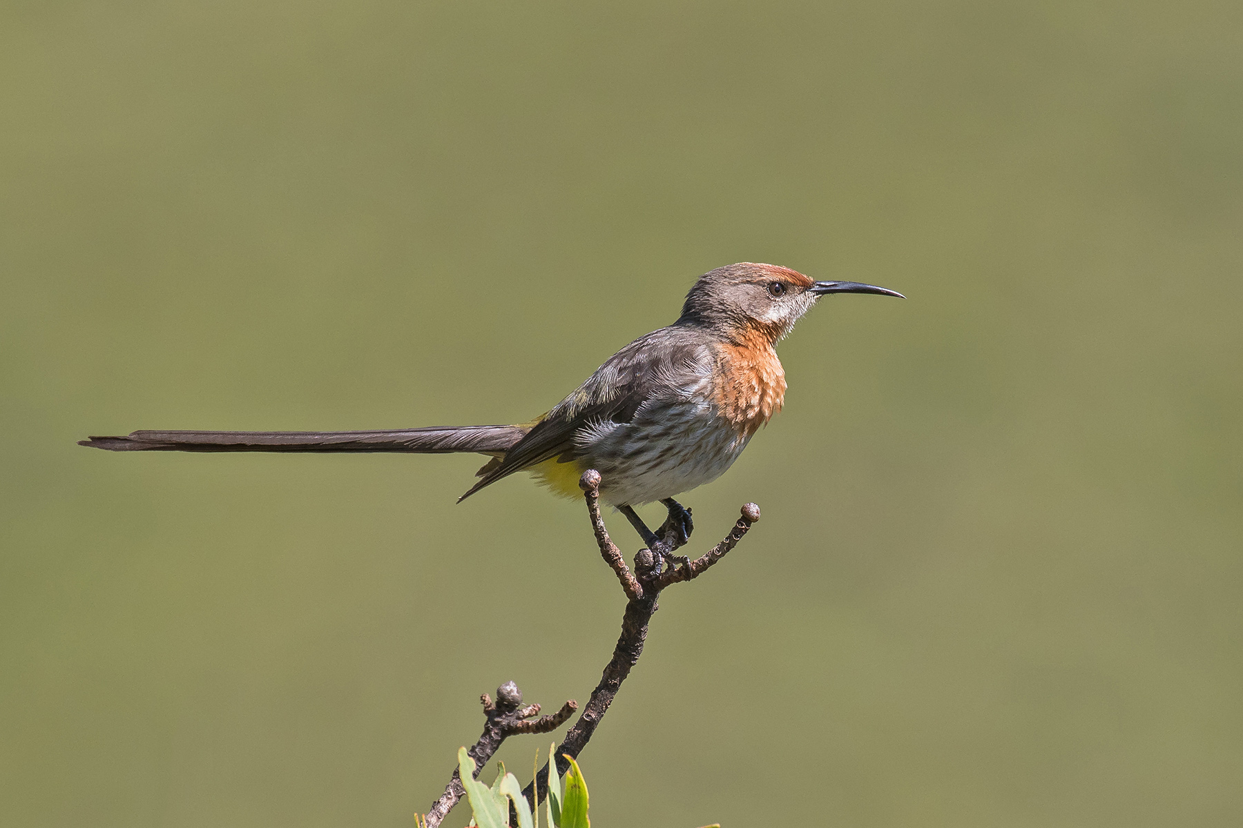 Gurney's Sugarbird on our South Africa birding tour (image by Pete Morris)