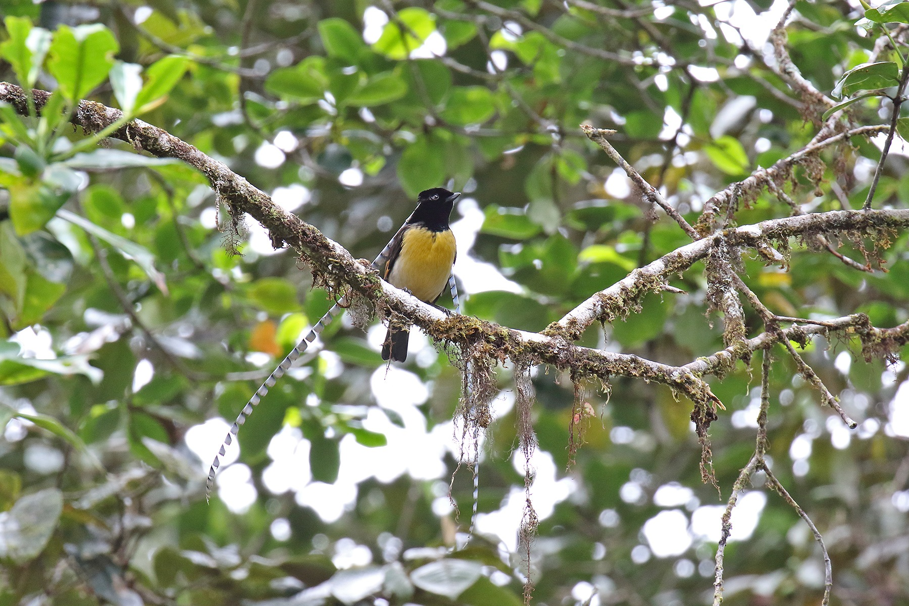 Papua New Guinea Birding Tours - Birdwatching Tours - Birdquest