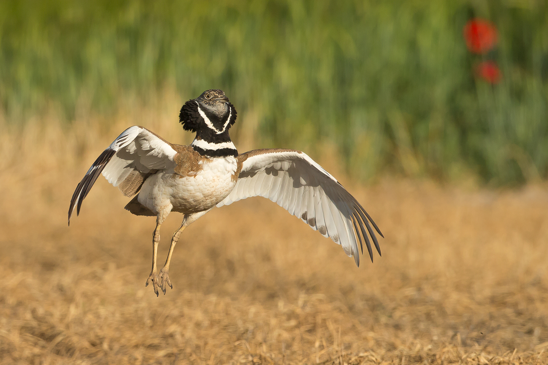 Little Bustard on our Spain birding tour (image by Mike Watson)