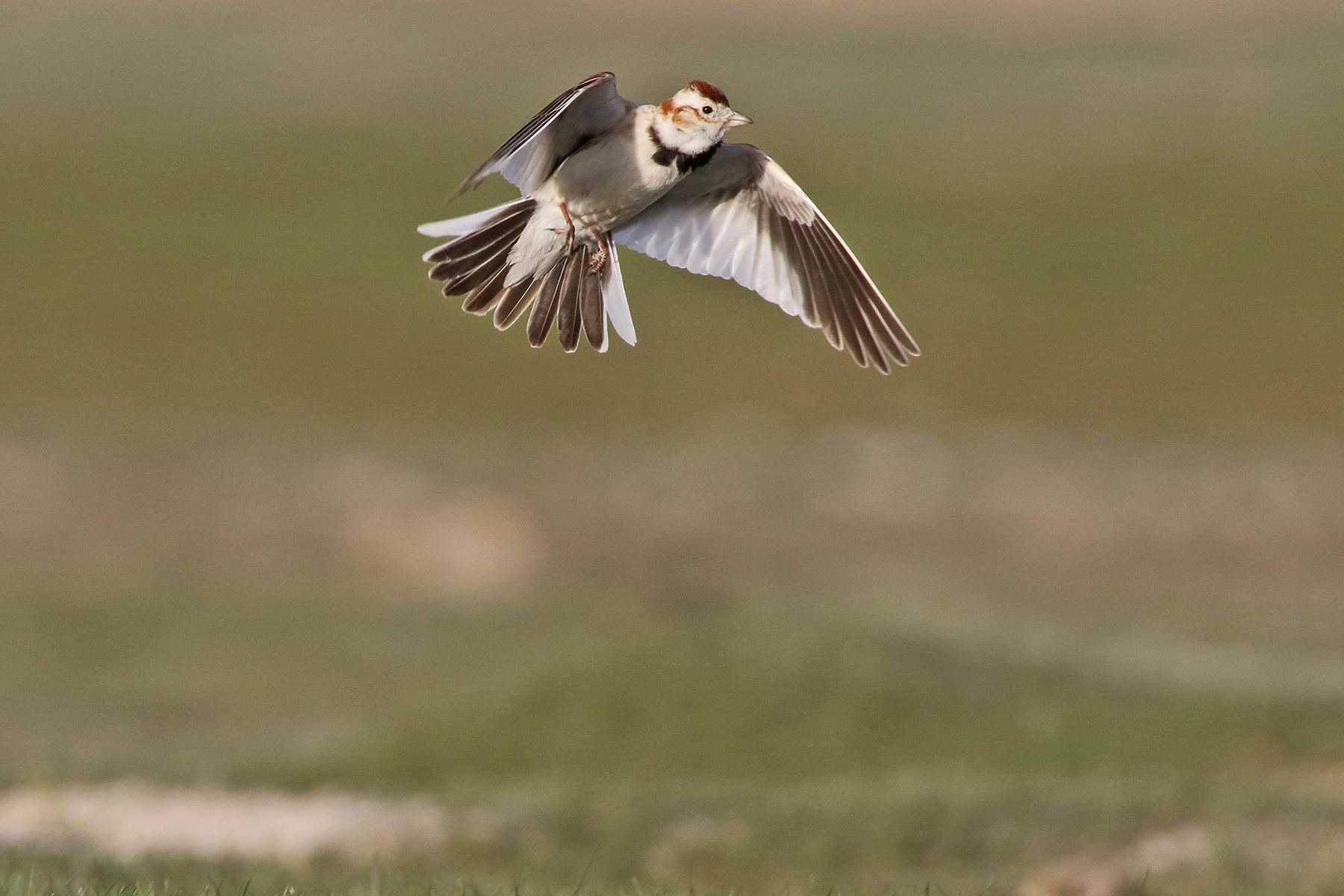 Mongolia Birding Tours - Mongolia Birdwatching Tours - Birdquest