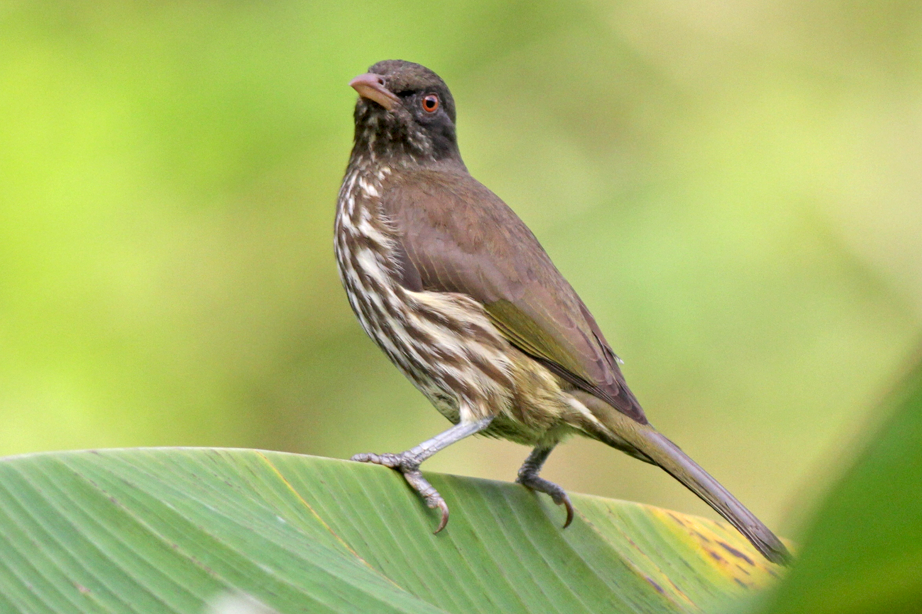 Palmchat in the Dominican Republic (image by Eustace Barnes)