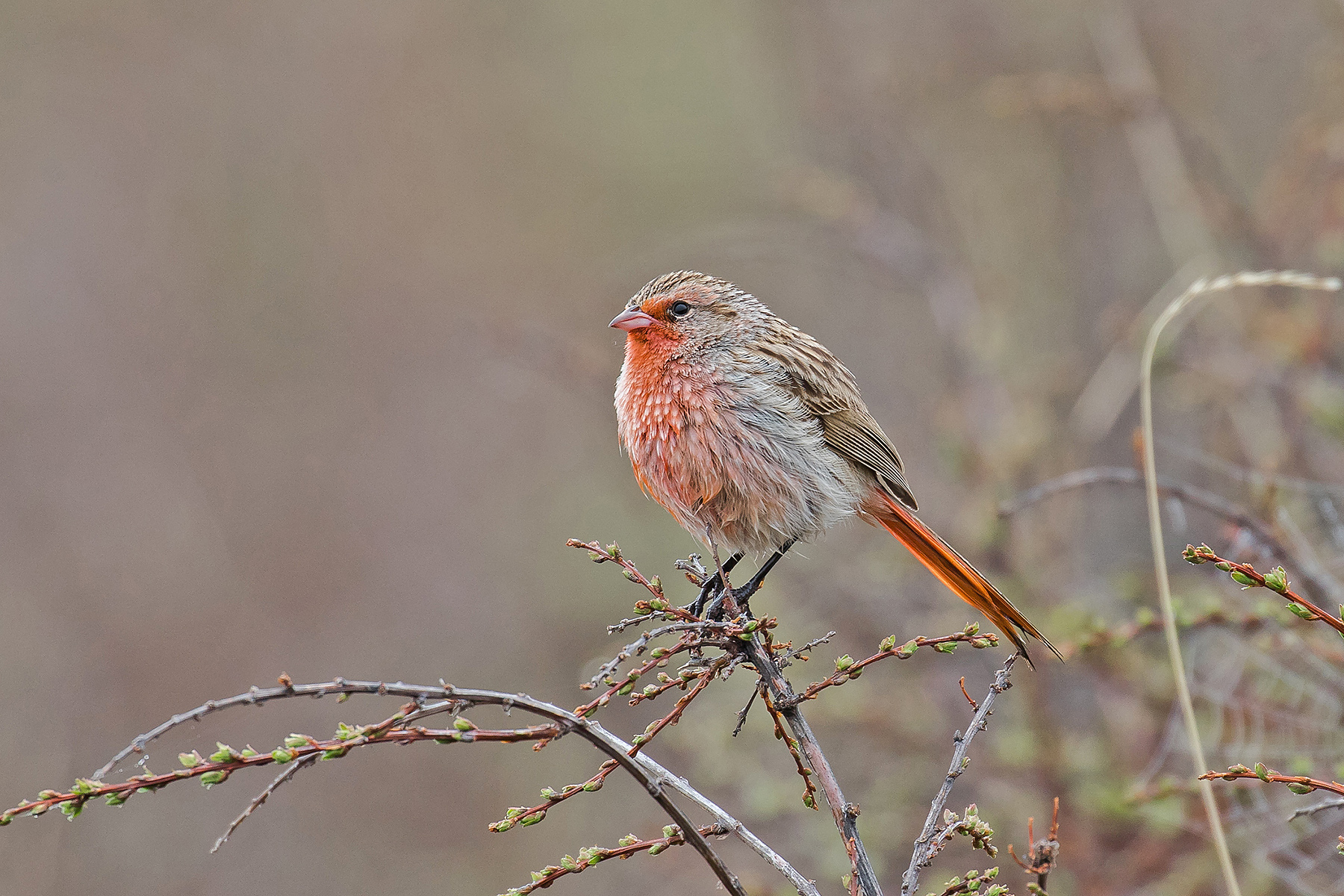 Przevalski's Finch in China (image by Pete Morris)