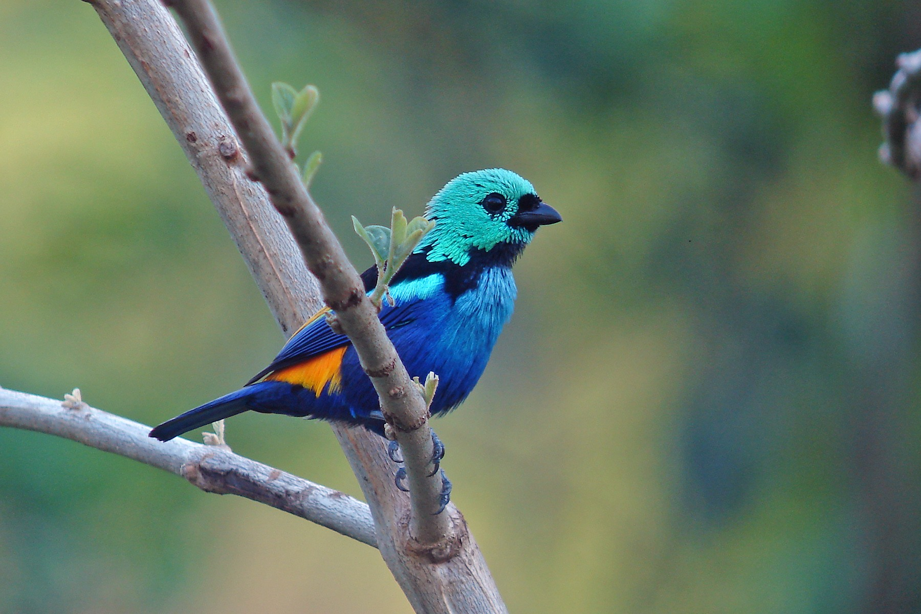 Seven-coloured Tanager on our Northeast Brazil birding tour (image by Pete Morris)