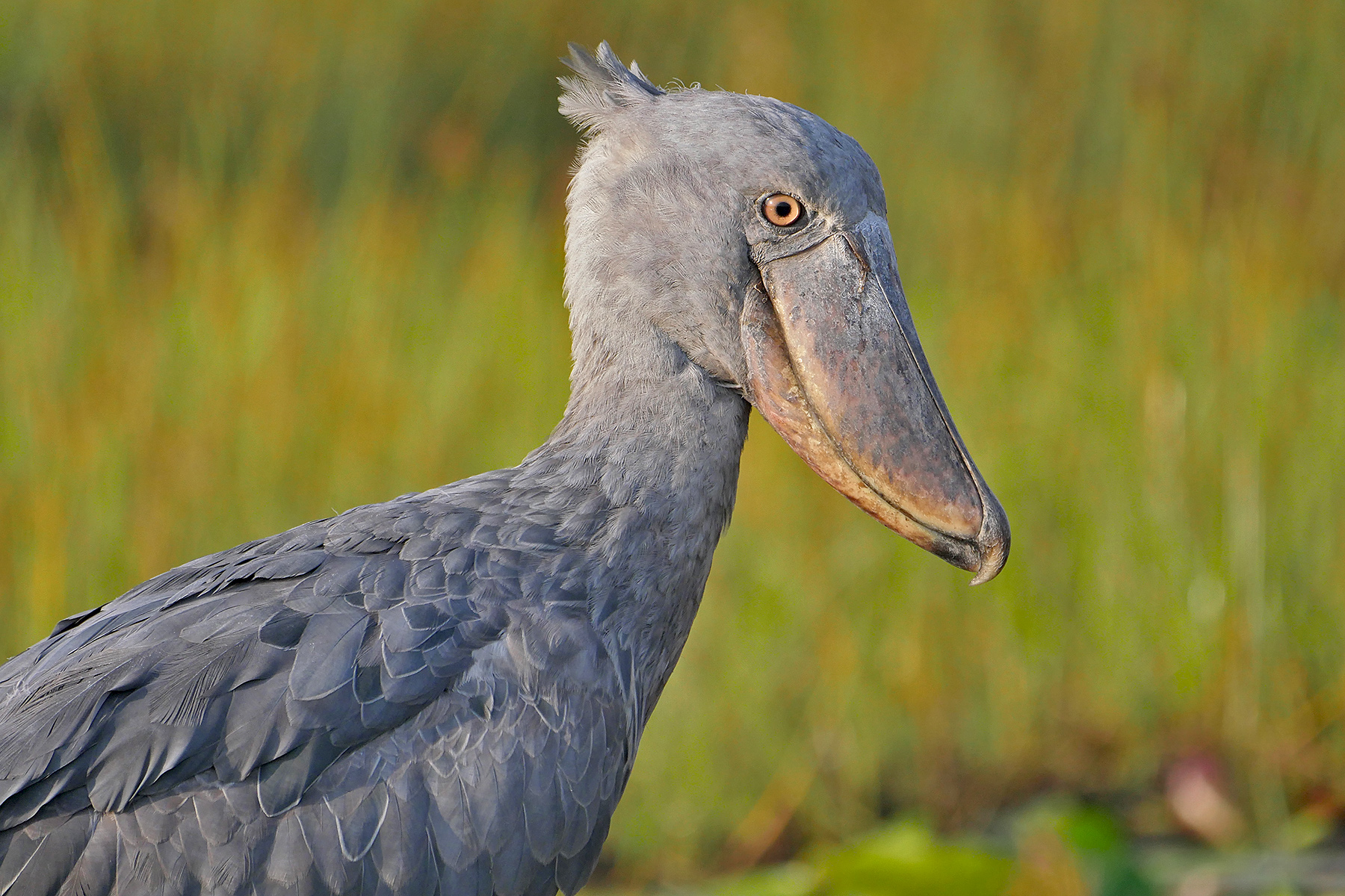 Shoebill on our Uganda birding tour (image by Nik Borrow)