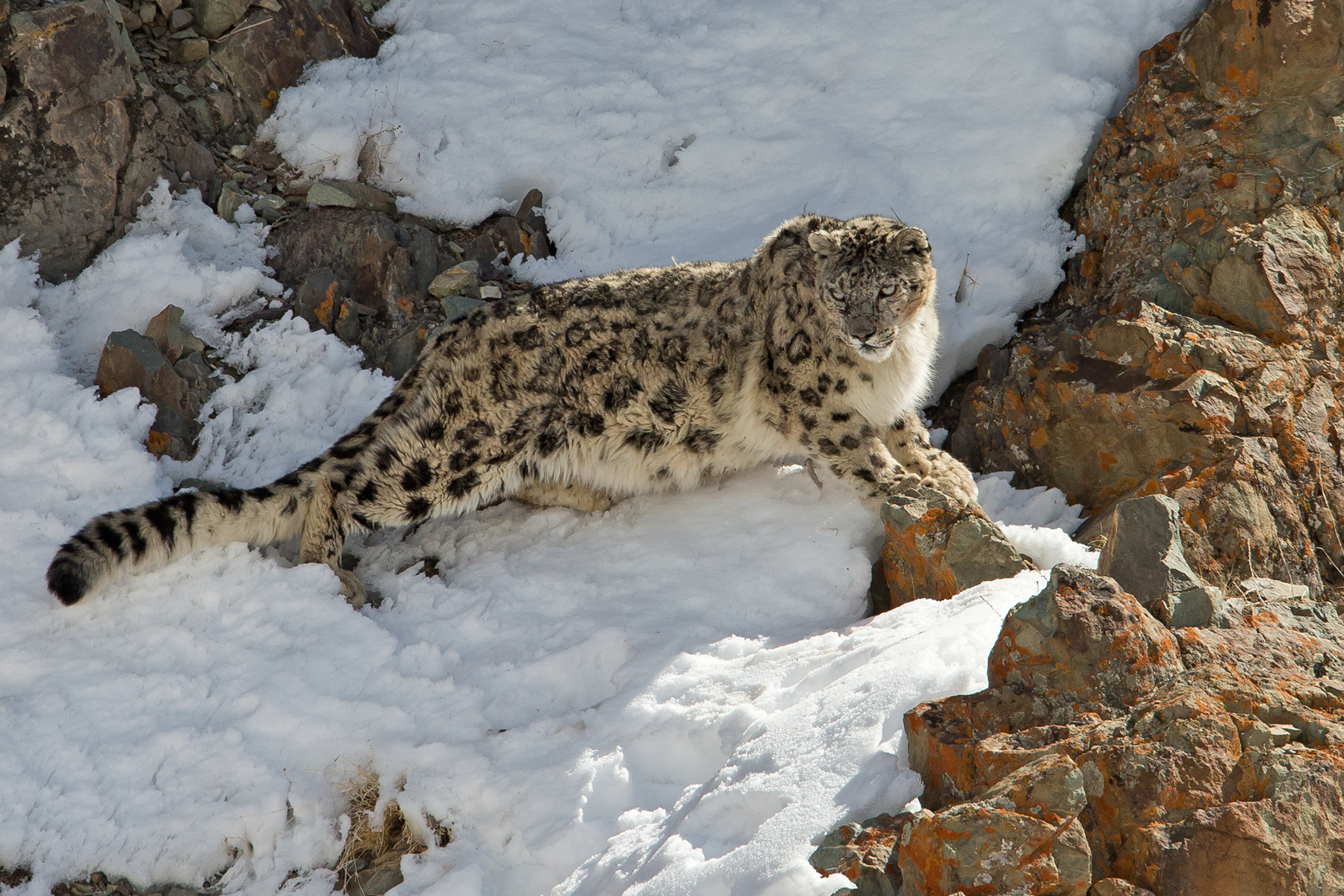 Snow Leopard in Ladakh (image by Mike Watson)