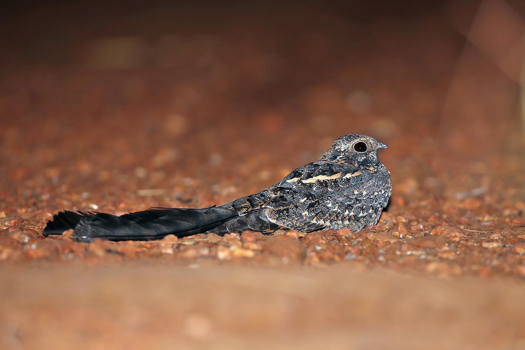 Standard-winged Nightjar in Ghana (image by Janos Olah)