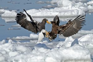 Steller's Sea Eagles in Japan (image by Pete Morris)
