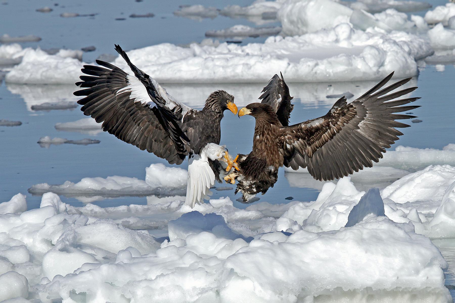 Steller's Sea Eagles in Japan (image by Pete Morris)