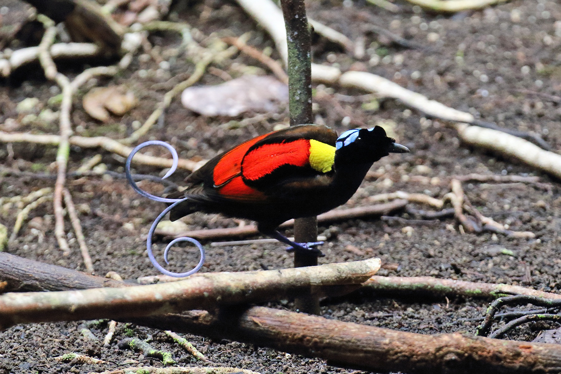 West Papua Birding Tours, Indonesia - Birdwatching Tours