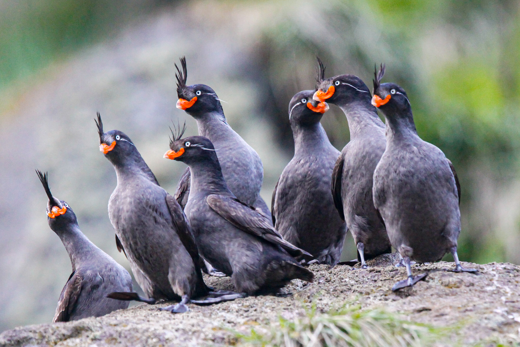 Crested Auklets on our Kuril Islands & Kamchatka birding tour (image by Mark Beaman)