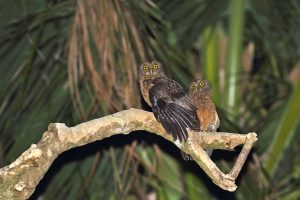 Romblon Hawk-Owl (image by Dani López-Velasco)